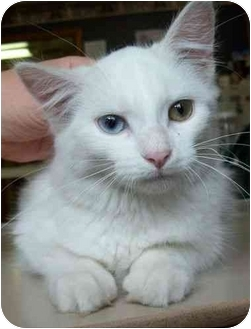 Domestic Mediumhair Kitten for adoption in North Judson, Indiana - Lefty