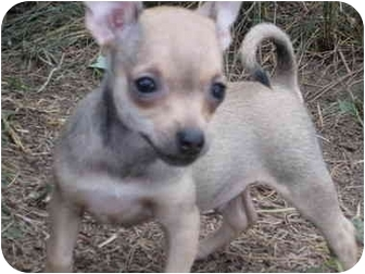 Chihuahua Puppy for adoption in Lakewood, Colorado - Tiny Dancer