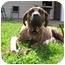 Photo 2 - Presa Canario Dog for adoption in Danville, Kentucky - Hope