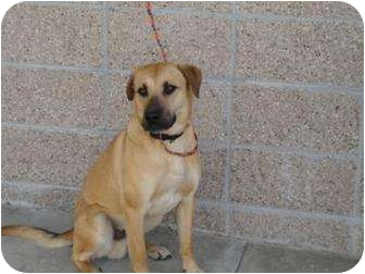 Shepherd (Unknown Type)/Retriever (Unknown Type) Mix Dog for adoption in Spruce Pine, North Carolina - Bosco