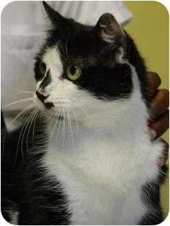 Domestic Shorthair Cat for adoption in Ellington, Connecticut - Spot ~ Urgent!