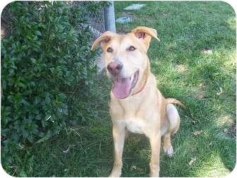 Labrador Retriever/Whippet Mix Dog for adoption in Los Angeles, California - Langston