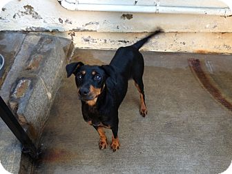 Doberman Pinscher/Terrier (Unknown Type, Medium) Mix Dog for adoption in Santee, California - Misha