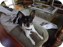 Chihuahua Mix Dog for adoption in Manahawkin, New Jersey - Daisy *Adopted
