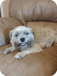 Shih Tzu/Schnauzer (Miniature) Mix Dog for adoption in Mary Esther, Florida - Penny