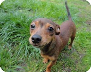 Dachshund/Miniature Pinscher Mix Dog for adoption in Seattle c/o Kingston 98346/ Washington State, Washington - Sage