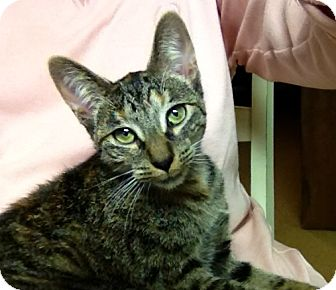 Abyssinian Cat for adoption in Troy, Michigan - Bella