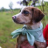 Adopt A Pet :: JULIA-JJ - Roundup, MT