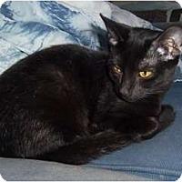 Adopt A Pet :: Spirit a/k/a Ninja - Orlando, FL