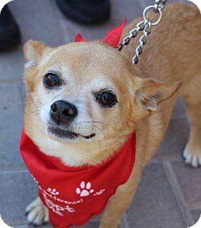 Chihuahua Mix Dog for adoption in Las Vegas, Nevada - FRANK ZAPPA