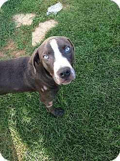 American Pit Bull Terrier/Labrador Retriever Mix Dog for adoption in Villa Park, Illinois - Marty