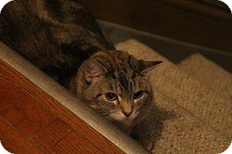 Domestic Shorthair Cat for adoption in Columbus, Ohio - Tulip