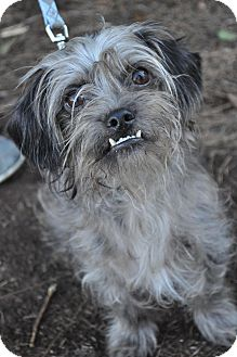 Yorkie, Yorkshire Terrier/Lhasa Apso Mix Dog for adoption in Atlanta, Georgia - Marley