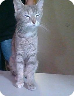 Domestic Shorthair Cat for adoption in Middletown, Ohio - Queenie