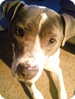 Staffordshire Bull Terrier Mix Dog for adoption in Las Vegas, Nevada - Dasha