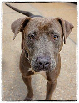 Pit Bull Terrier Mix Dog for adoption in Freeport, New York - Zsa Zsa