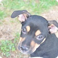 Adopt A Pet :: Diablo - Tumwater, WA