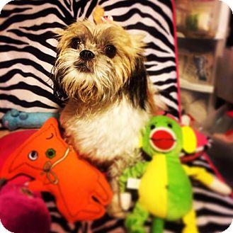 Shih Tzu Mix Dog for adoption in Seattle, Washington - Honey Dew