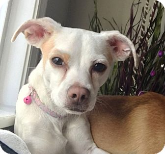 Chihuahua/Jack Russell Terrier Mix Dog for adoption in Federal Way, Washington - Fifi - ADOPTED