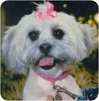 Lhasa Apso Dog for adoption in Encino, California - Daisy
