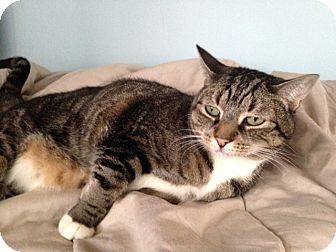 Domestic Mediumhair Cat for adoption in Edgewater, New Jersey - Cutie