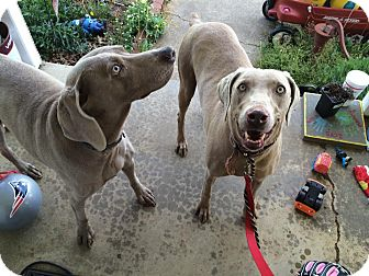 Weimaraner Dog for adoption in Staunton, Virginia - Rue