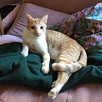 Domestic Shorthair Cat for adoption in Chandler, Arizona - Tigger