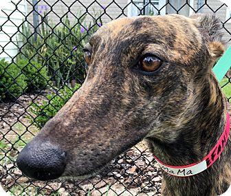 Greyhound Dog for adoption in Longwood, Florida - KB's Hotmama