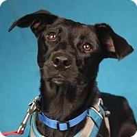 Adopt A Pet :: Kori - Minneapolis, MN