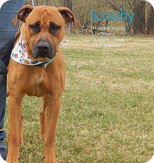 Rhodesian Ridgeback/Mastiff Mix Dog for adoption in Bucyrus, Ohio - Scooby