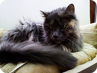 Domestic Longhair Cat for adoption in N. Billerica, Massachusetts - April