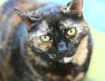 Domestic Shorthair Cat for adoption in Canoga Park, California - Hestia