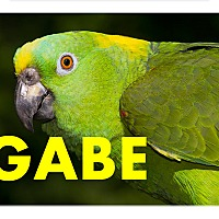 Adopt A Pet :: Gabe Yellow Naped Amazon - Vancouver, WA