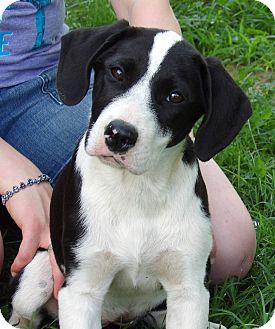 Great Dane/Border Collie Mix Puppy for adoption in Williamsport, Maryland - Talulah (25 lb) Video!