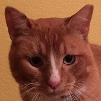 Adopt A Pet :: Mr. Mistofolees - Auburn, CA
