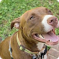 Adopt A Pet :: Piper Longstocking - Durham, NC