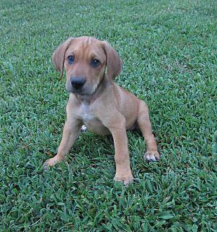 Labrador Retriever/Hound (Unknown Type) Mix Puppy for adoption in Great Falls, Virginia - James