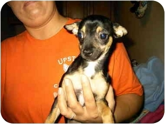 Chihuahua Puppy for adoption in Baltimore, Maryland - Jose(adoption pending)