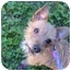 Photo 1 - Jack Russell Terrier/Yorkie, Yorkshire Terrier Mix Dog for adoption in No.Charleston, South Carolina - Sydney