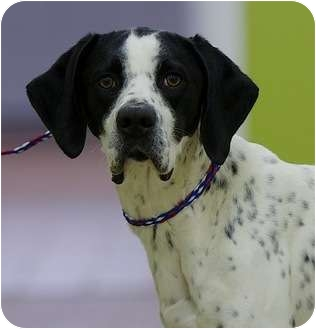 Pointer Dog for adoption in Providence, Rhode Island - Sport