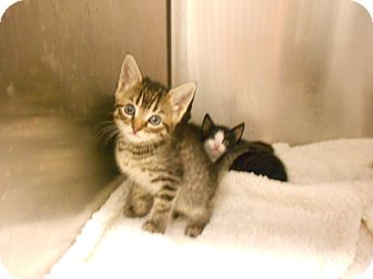 Domestic Shorthair Kitten for adoption in Maywood, New Jersey - Fache [pronounced Fachay]