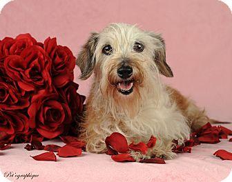 Dachshund Mix Dog for adoption in Las Vegas, Nevada - Havana Rose
