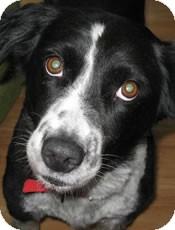 Border Collie Mix Dog for adoption in Oliver Springs, Tennessee - Gracie