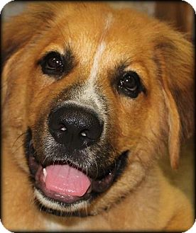St. Bernard/Leonberger Mix Puppy for adoption in Bellflower, California - Leo