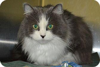 Domestic Shorthair Cat for adoption in Elyria, Ohio - Sierra