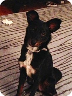 Fox Terrier (Smooth) Mix Puppy for adoption in Long Beach, New York - Billy