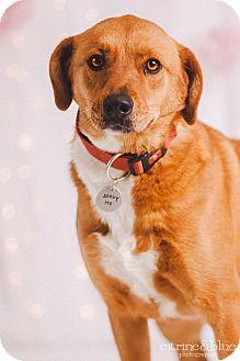 Labrador Retriever Mix Dog for adoption in Portland, Oregon - Jersey