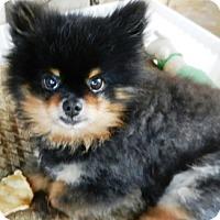 Adopt A Pet :: Cassidy - Orange, CA