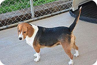 Beagle Mix Dog for adoption in Grenada, Mississippi - Josie