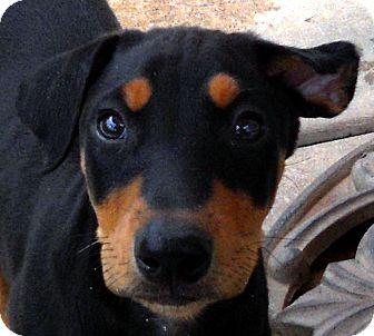 Doberman Pinscher Puppy for adoption in Oakley, California - Baby Giulietta